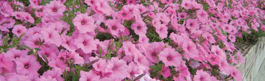 annuals-petunias-demers