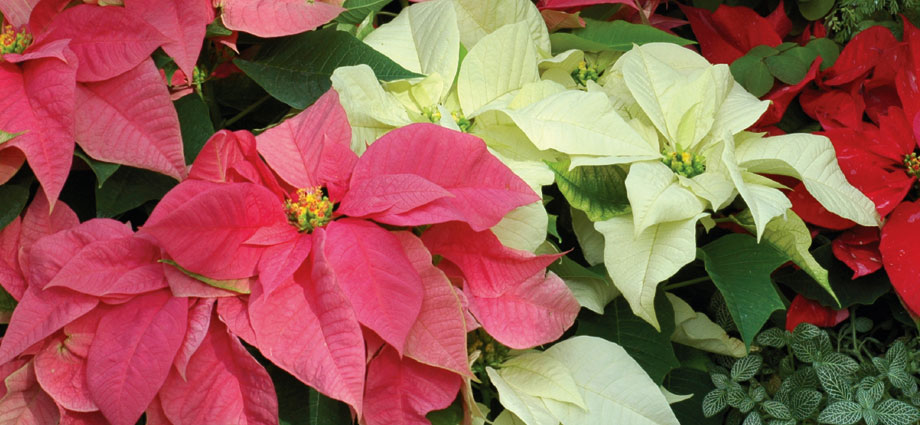 poinsettias_sliders